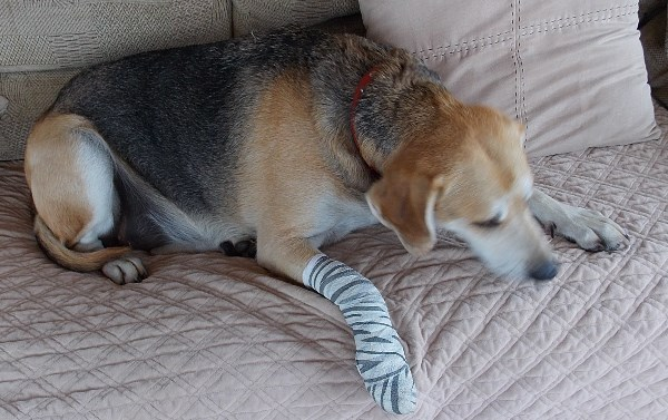 Harley the Beagle with bandged paw